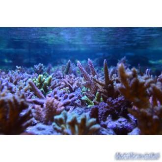 Korallen Sets