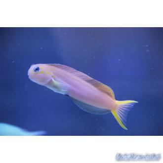 Schleimfische