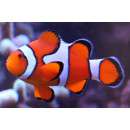 Amphiprion ocellaris - Falscher Clown-Anemonenfisch...