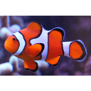 Amphiprion ocellaris - Falscher Clown-Anemonenfisch wild S/M